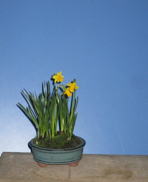 jonquilles naines